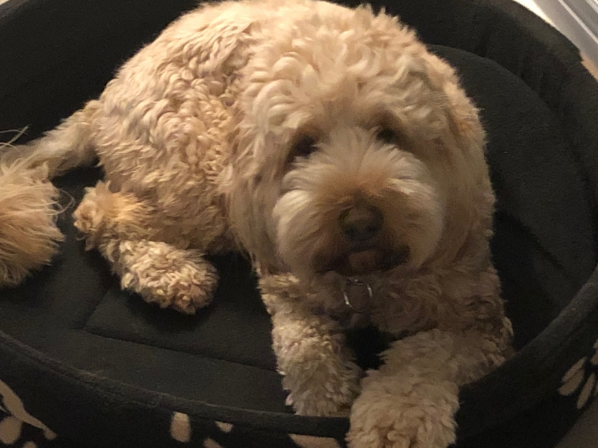 George The Spoodle