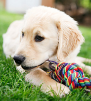 puppy-playing-with-rope-180px