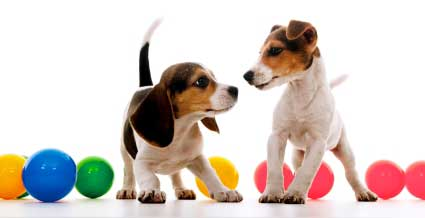 Contact Ian the Dog Trainer on 0408 374 444 - In Home Puppy Training all Melbourne suburbs.